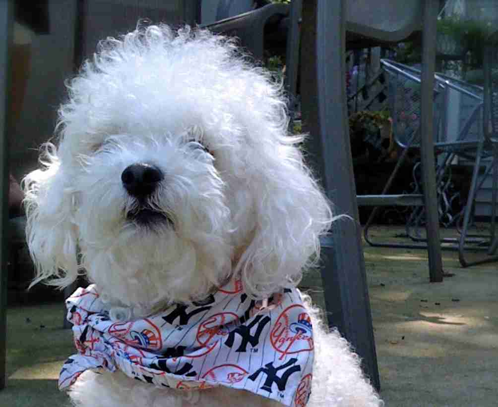 middletown NJ bichon frise buster casey dog